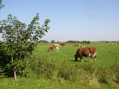 Kühe Oldsum Föhr