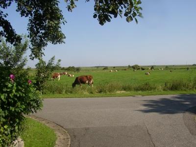 Marsch Kühe Oldsum Föhr