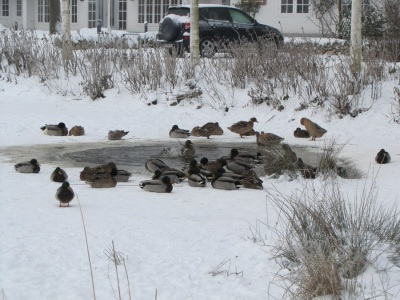 Nieblum Meere Winter Enten
