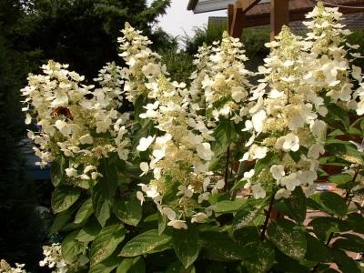 Rispenhortensie Hydrangea Paniculata