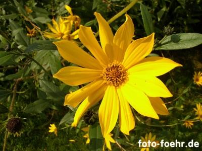 stauden sonnenblume