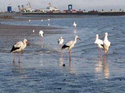 Storch Strand Wyk