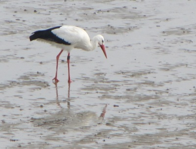 Storch Wattenmeer